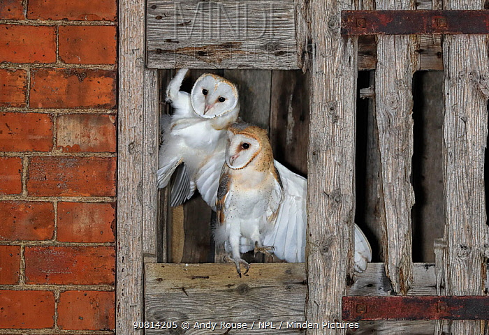 Barn owl (Tyto alba), young in nest about to fledge, UK.