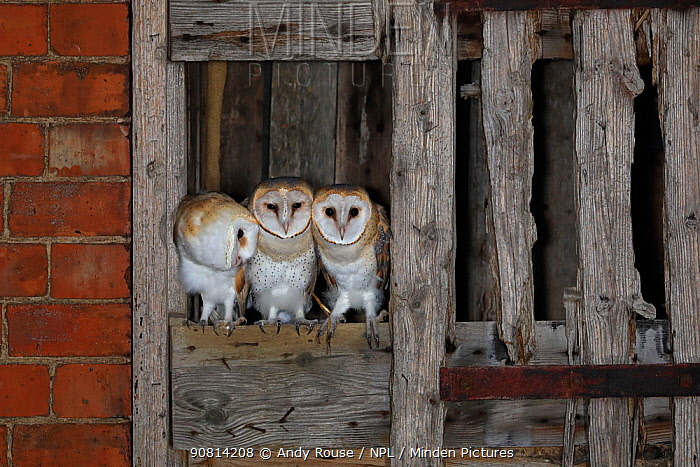Barn owl, (Tyto alba), young in nest about to fledge, UK.