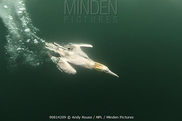 Gannet, (Morus bassanus), hunting underwater, Bass Rock, Scotland, UK