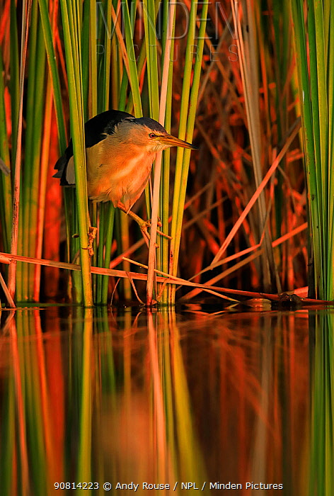 Little bittern, (Ixobrychus minutus), hunting in reeds, Bulgaria, June.