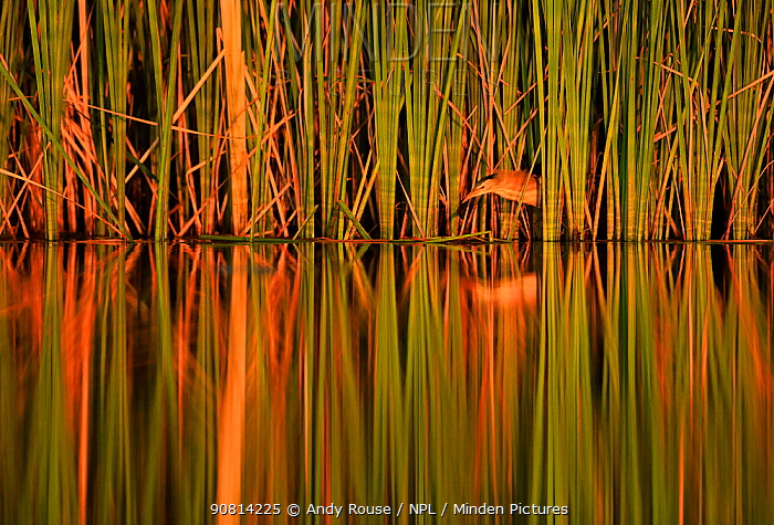 Little bittern, (Ixobrychus minutus), hunting in reeds, Bulgaria, June.