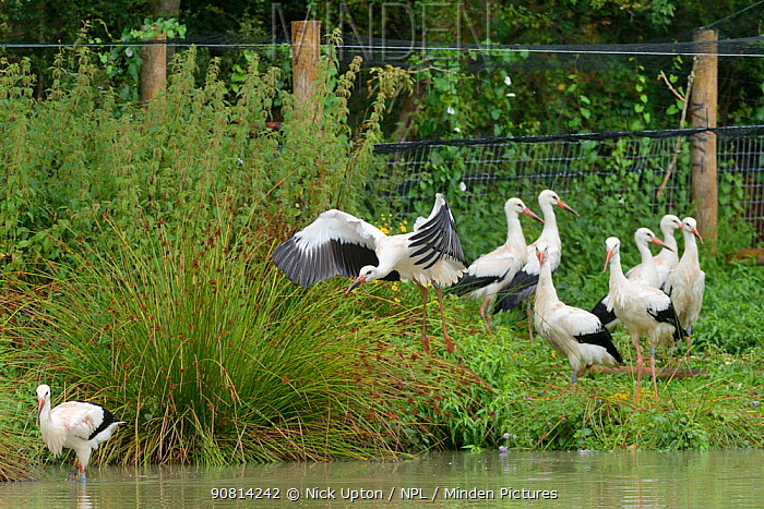 Captive reared juvenile White stork (Ciconia ciconia) flying from an opening in a temporary holding pen past another walking out on release day on the Knepp estate as others look on, Sussex, UK, August 2019.