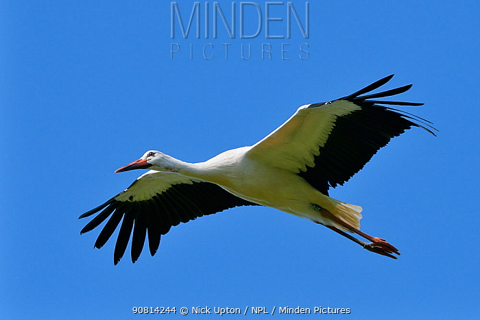 Captive reared juvenile White stork (Ciconia ciconia) in flight over the Knepp Estate soon after release, Sussex, UK, August 2019.