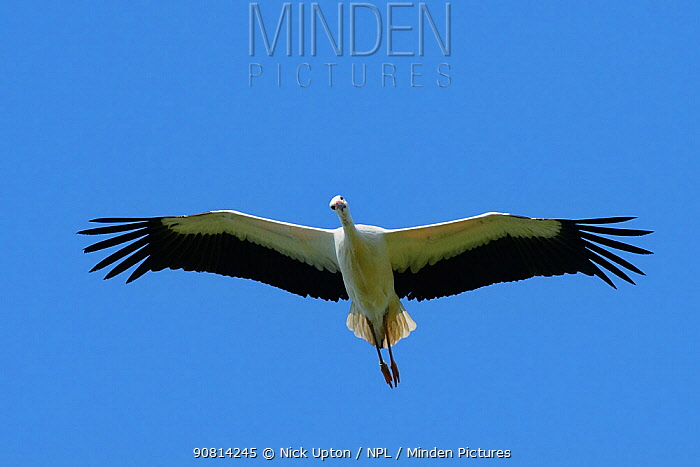 Captive reared juvenile White stork (Ciconia ciconia) in flight over the Knepp Estate soon after release,looking down, Sussex, UK, August 2019.