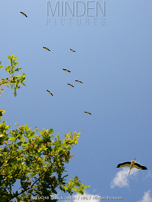 Captive reared juvenile White storks (Ciconia ciconia), flying over Oak trees soon after release on the Knepp estate, Sussex, UK, August 20198.
