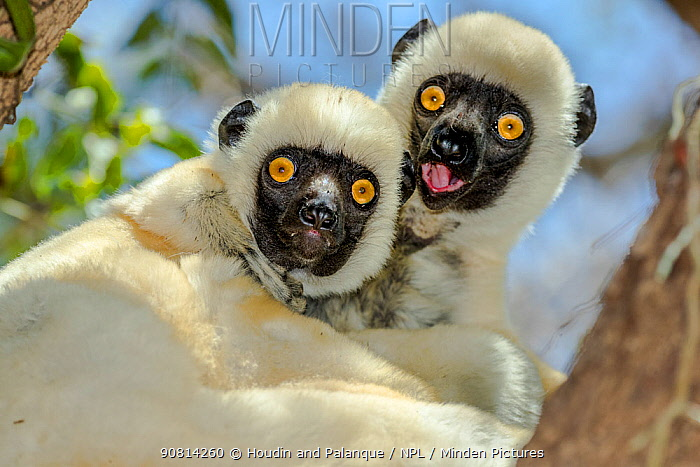 Decken's sifaka (Propithecus deckenii) portrait of two, Tsimembo area, Madagascar.