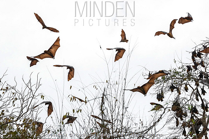 Madagascar flying fox, (Pteropus rufus), group in flight, Tsimembo area, Madagascar Lenses for Conservation project.