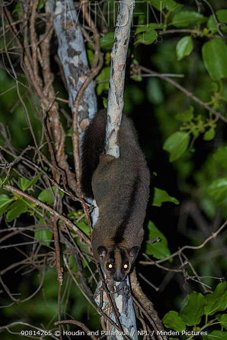 Pale fork-marked lemur (Phaner pallescens) at night, Kirindy Deciduous Forest, Madagascar. Lenses for Conservation project.