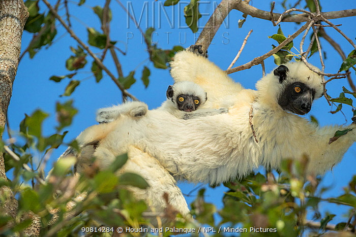Decken's sifaka (Propithecus deckenii) female and his young playing, Tsimembo area, Madagascar. Lenses for Conservation project.