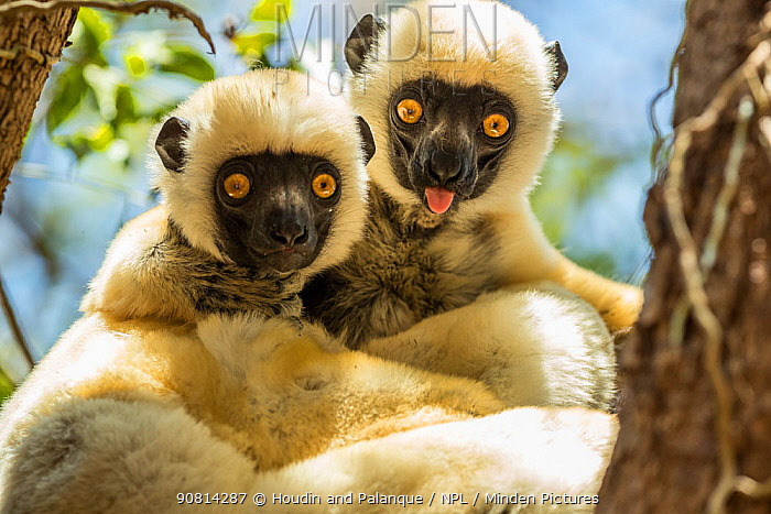 Decken's sifaka (Propithecus deckenii) grooming each other, Tsimembo area, Madagascar.
