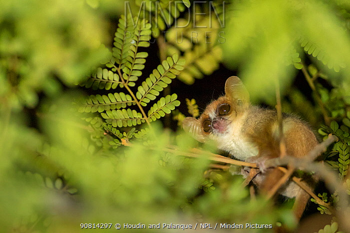 Madame Berthe's Mouse Lemur (Microcebus berthae), the worlds smallest primate, Kirindy forest, Madagascar.  Lenses for Conservation project.