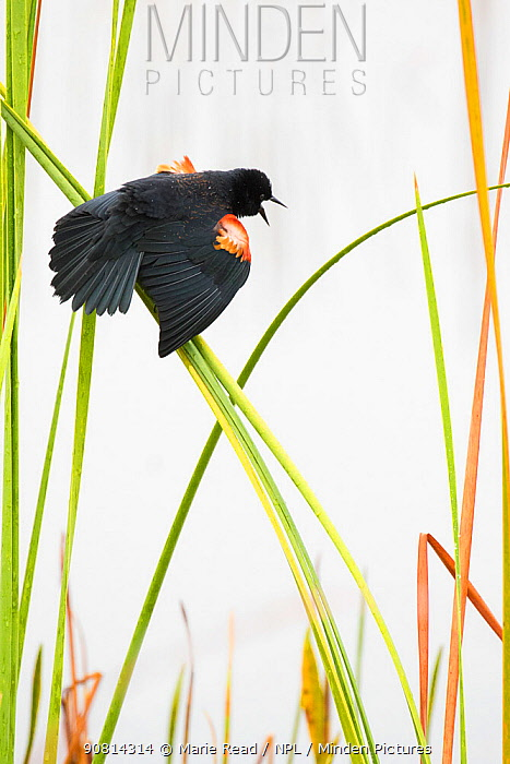 Red-winged Blackbird (Agelaius phoeniceus) male displaying in cattail marsh, Viera Wetlands, Brevard County, Florida, USA, January.