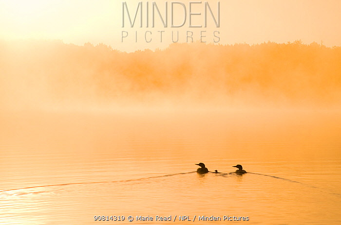 Common loons (Gavia immer), two adults and chick swimming on a misty lake in early morning, Michigan, USA. June.