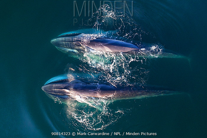 Aerial view Fin whales (Balaenoptera physalus) lunge-feeding in the southern Sea of Cortez (Gulf of California), Baja California, Mexico.
