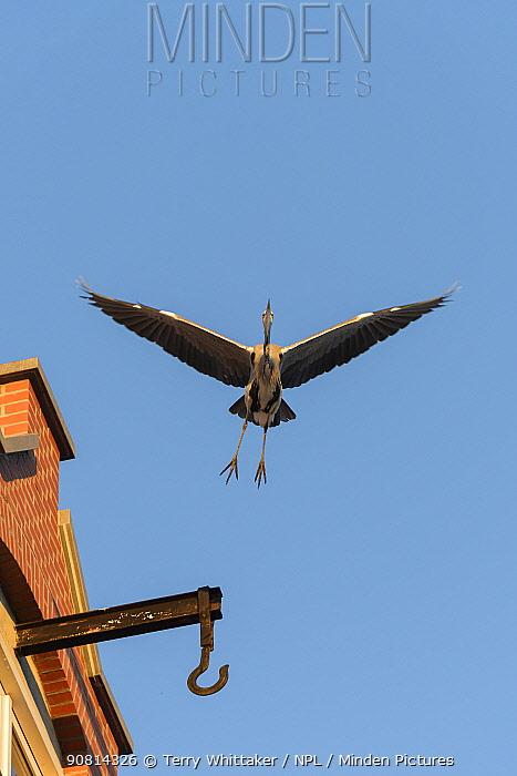 Grey Heron ( Ardea cinerea) flying in city, Amsterdam, Netherlands. April.