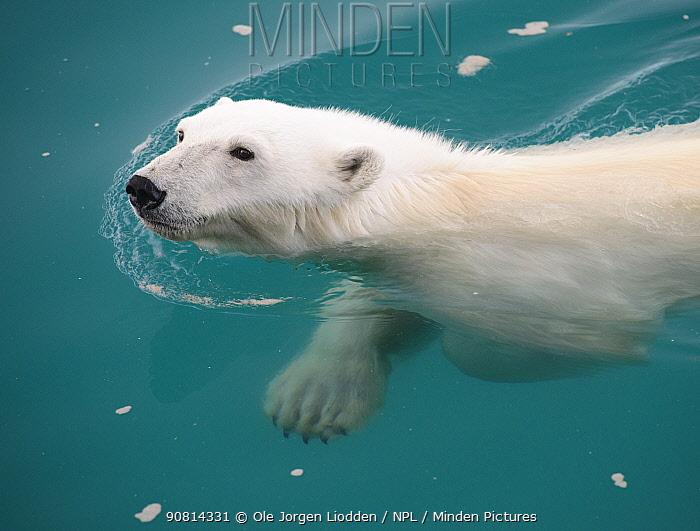 Polar Bear (Ursus maritimus) swimming, Nordaustlandet, Svalbard, Norway, July.