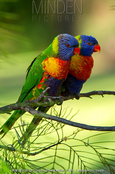 Pair of Rainbow lorikeets (Trichoglossus moluccanus) on a branch, Cania Gorge National Park, Queensland, Australia. September.