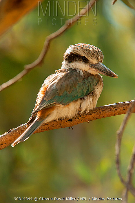 A Red-backed Kingfisher (Todiramphus pyrrhopygius) perching on a tree branch looking for small prey below, Alice Springs Desert Park, Northern Territory, Australia. May. Captive.