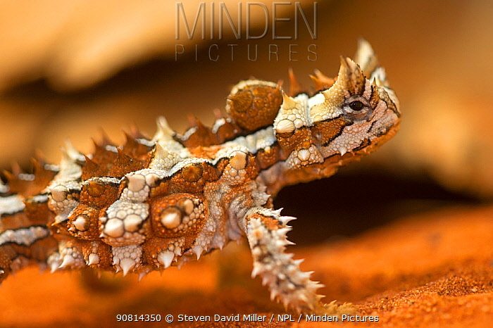 A close up of a Thorny devil (Moloch horridus), Alice Springs Reptile Park, Northern Territory, Australia.