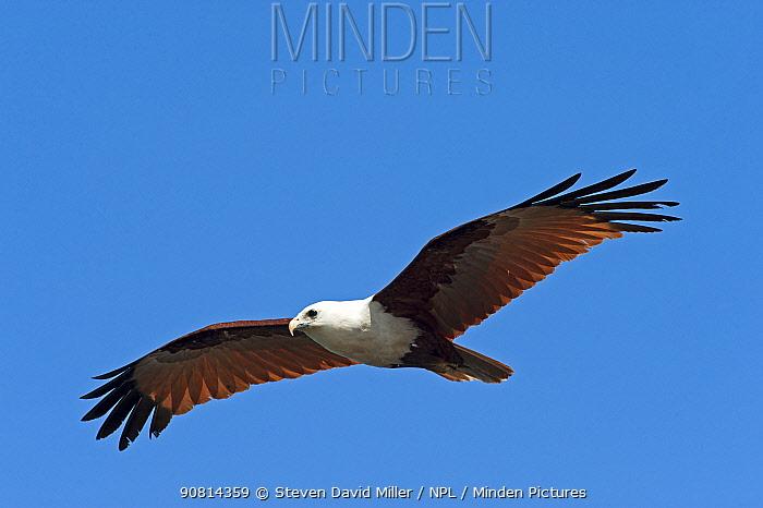 Brahminy Kite (Haliastur indus) flying high, Ballina, Queensland Australia. October.