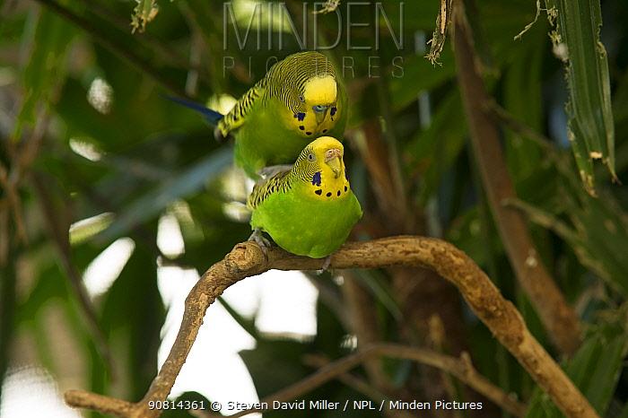 Budgerigar (Melopsittacus undulatus) pair mating on a tree branch, Rainforest Dome, Cairns, Queensland, Australia. (Wild morph). Captive.