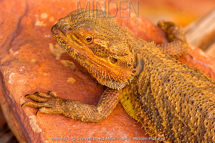 Central bearded dragon (Pogona vitticeps) warming up on a rock, Alice Springs Reptile Centre, Northern Territory, Australia. Captive.