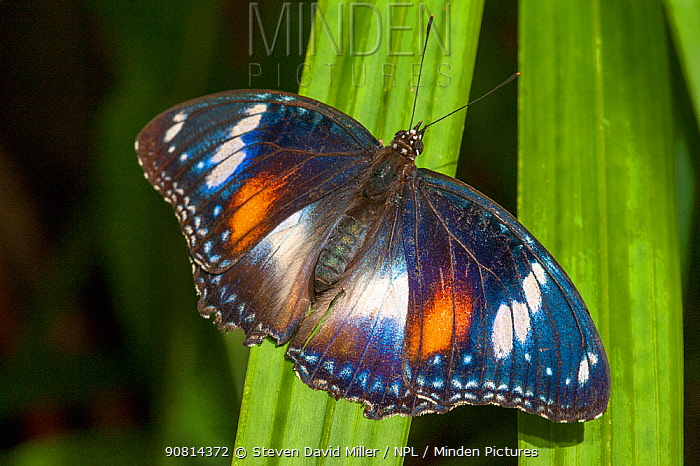 A Common eggfly butterfly (Hypolimnas bolina) at rest, Cairns Botanical Gardens, Queensland, Australia. Captive.