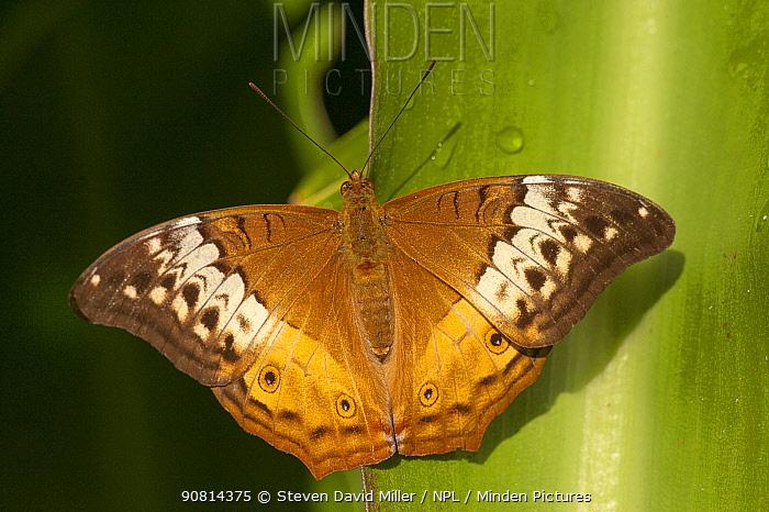 A female Cruiser butterfly (Vindula arsinoe) resting, Cairns Botanical Gardens, Queensland, Australia. Captive.