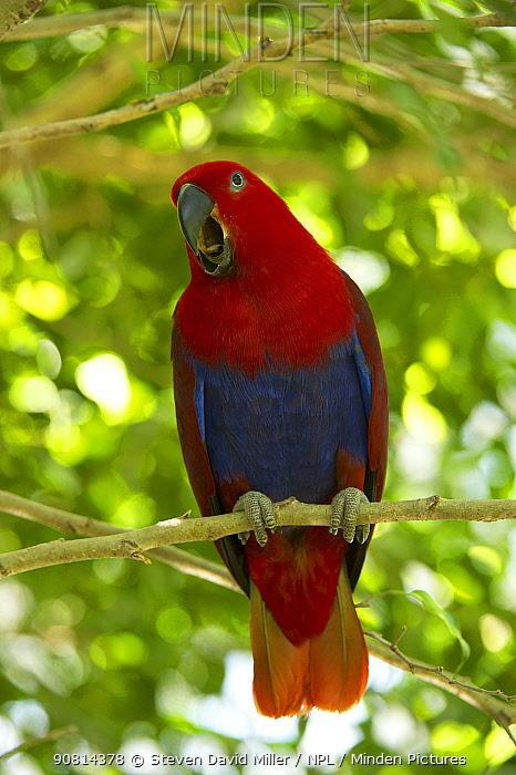 Eclectus parrot (Eclectus roratus) female calling, The Wildlife Habitat Zoo, Port Douglas, Queensland, Australia. August. Captive.