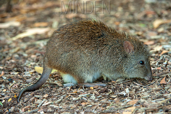 Long-nosed potoroo (Potorous tridactylus) feeding on bird seed fallen from bird feeders which encourages them to come out into open woodland. Fences around the property protect them from feral predators, Cleland Wildlife Park, South Australia, March.
