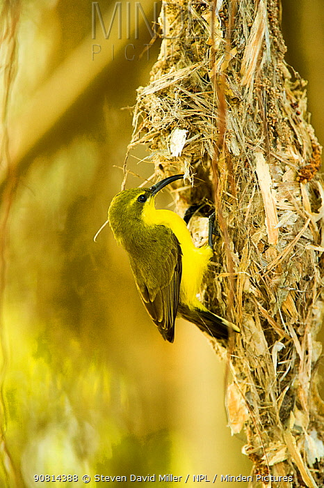 Olive-backed sunbird (Nectarinia jugularis) female returning to her nest with nesting material, Cape Hillsborough National Park, Queensland, Australia, September.