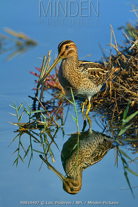 Common snipe (Gallinago gallinago) foraging in water, Le Teich, Gironde, France September.