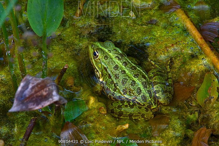 Pool frog (Pelophylax lessonae) Green Lake of Neuchatel, Switzerland, September.