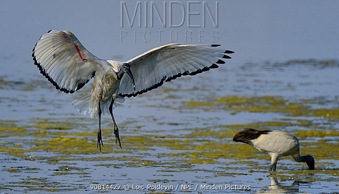 African sacred ibis (Threskiornis aethiopicus) flight,  Vendee, France, October.
