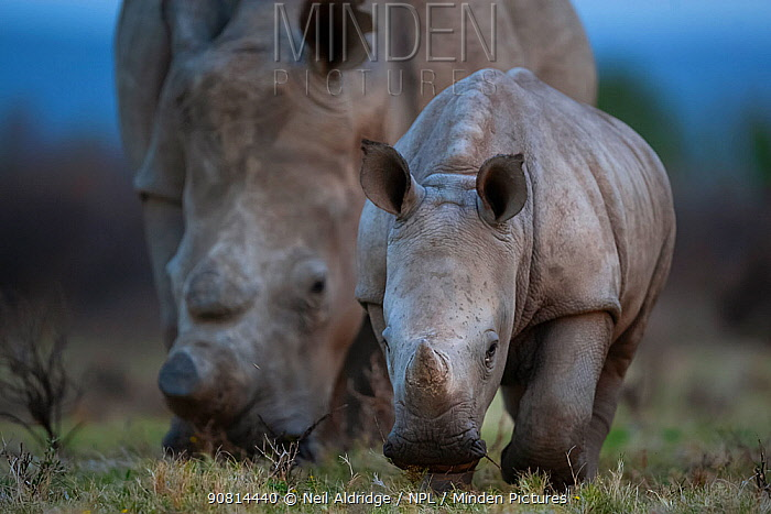 A young White rhinoceros (Ceratotherium simum) and its mother feed on grassland on Kariega Game Reserve, South Africa.
