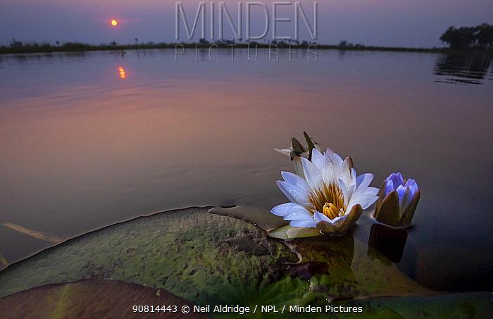 Water lily flowers (Nymphaea nouchali) at sunset in the Okavango Delta, Botswana.