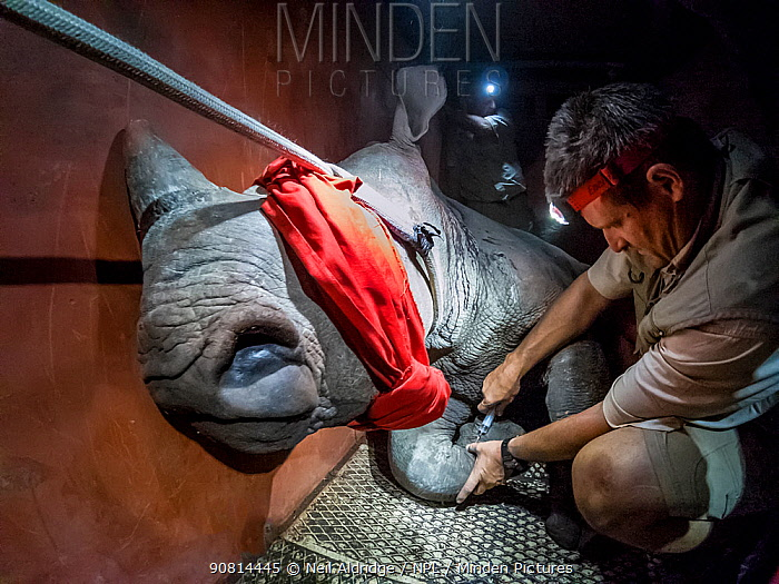 A vet injects a sedated White rhinoceros (Ceratotherium simum) in a transport crate as part of a night time translocation operation to bring rhinos from South Africa to Okavango Delta, Botswana, to rebuild Botswana's lost rhino populations.