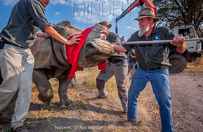 Blindfolded and partially drugged adult White rhinoceros (Ceratotherium simum) is led out of its transport crate and into the wild in the Okavango Delta, Botswana. During a translocation operation that involved moving rhinos from South Africa to rebuild Botswana's lost rhino populations.