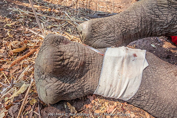 A drip is fitted to the leg of a young White rhinoceros (Ceratotherium simum) after its translocation from South Africa to Okavango Delta, Botswana. as part of efforts to rebuild Botswana's lost rhino populations.