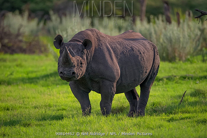 Black rhinoceros (Diceros bicornis) stands in evening light on Chief's Island in Okavango Delta, Botswana,. This rhino was released in the Okavango Delta as part of efforts to rebuild the rhino populations that Botswana lost to poaching and hunting by the early 1990s.