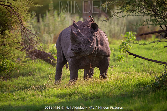 Black rhinoceros (Diceros bicornis) stands in evening light on Chief's Island in Okavango Delta, Botswana,, Botswana. This rhino was released in the Okavango Delta as part of efforts to rebuild the rhino populations that Botswana lost to poaching and hunting by the early 1990s.