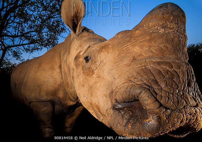 Orphaned White rhinoceros (Ceratotherium simum) at dusk at the Rhino Revolution orphanage near Hoedspruit, South Africa. The mother of this rhino was killed by poachers for her horns.