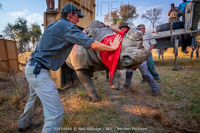 A team of vets and conservationists guide a blindfolded and partially drugged adult White rhinoceros (Ceratotherium simum) out of its transport crate and into its new home in the Okavango Delta in northern Botswana during a translocation operation from South Africa to restore Botswana's lost rhino populations.