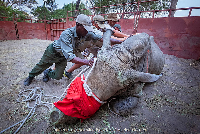 Team of vets and conservation staff move a sedated White rhinoceros (Ceratotherium simum) into a comfortable resting position in a secure enclosure known as a boma during a translocation operation to bring rhinos from South Africa to the Okavango Delta in northern Botswana as part of efforts to rebuild Botswana's lost rhino populations.