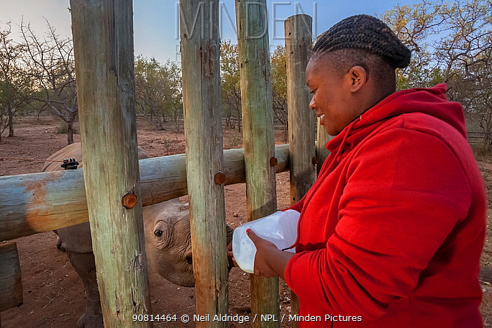 An orphaned White rhinoceros (Ceratotherium simum) calf is bottle fed by a vet assistant at the Rhino Revolution orphanage, South Africa.