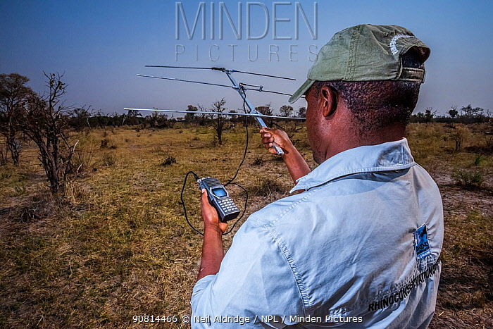 A rhino monitor from the charity Rhino Conservation Botswana uses telemetry equipment to track newly released rhinos Okavango Delta, Botswana, where efforts have begun to rebuild the rhino populations the country lost to poaching and hunting.