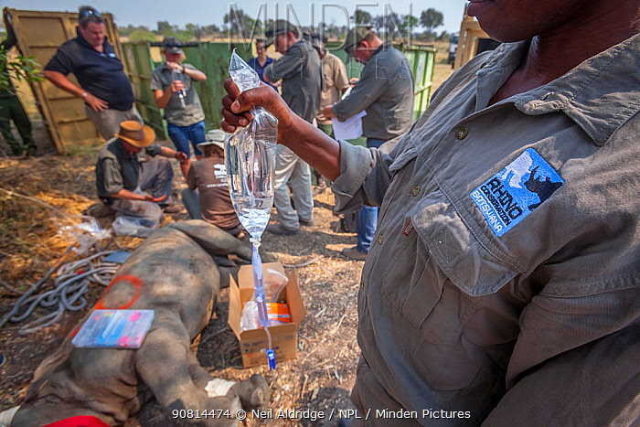 A member of the Rhino Conservation Botswana team holds a drip attached to a young White rhinoceros (Ceratotherium simum) while vets provide the young rhino with care after its translocation from South Africa to Okavango Delta, Botswana.