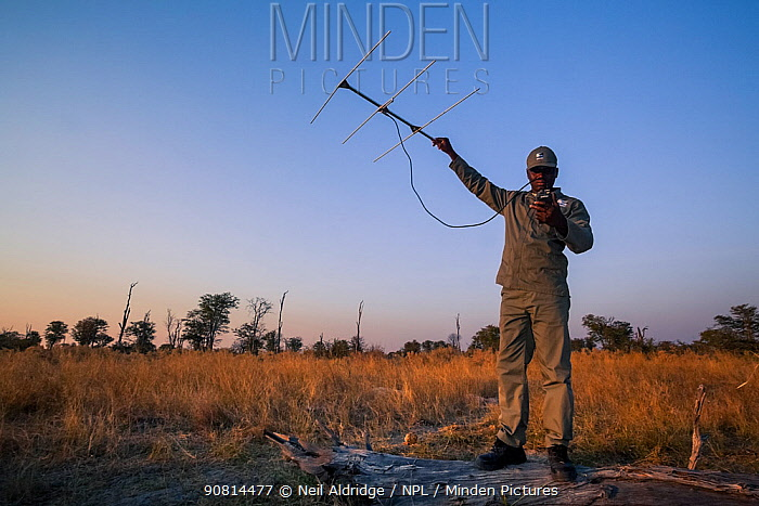 A rhino monitor from the charity Rhino Conservation Botswana uses telemetry equipment to track newly released rhinos in Okavango Delta, Botswana, where efforts have begun to rebuild the rhino populations the country lost to poaching and hunting.