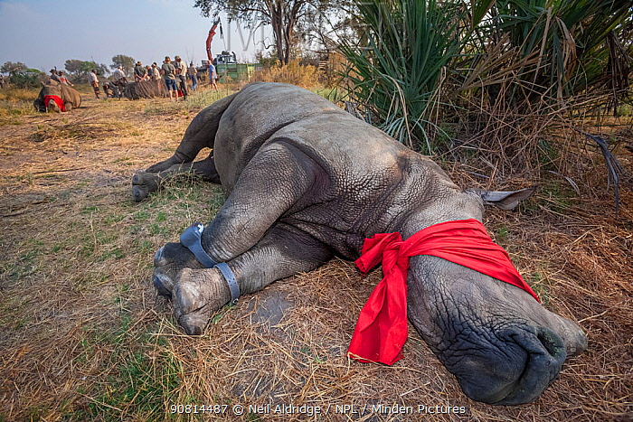 A blindfolded and tranquilised adult White rhinoceros (Ceratotherium simum) with tracking tags lies and recovers in the Okavango Delta in northern Botswana following a translocation operation that involved moving rhinos from South Africa to rebuild Botswana's lost rhino populations.