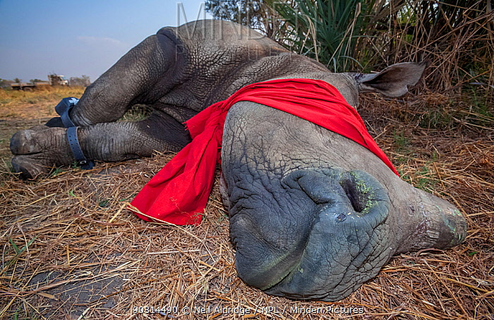 Blindfolded and tranquilised adult White rhinoceros (Ceratotherium simum) with tracking tags lies and recovers in the Okavango Delta, northern Botswana, following a translocation operation that involved moving rhinos from South Africa to rebuild Botswana's lost rhino populations.